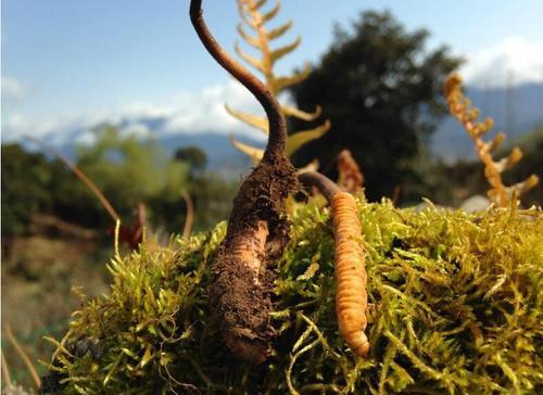 新鲜虫草和干虫草的区别,冬虫夏草是新鲜的好还是晒干的好?
