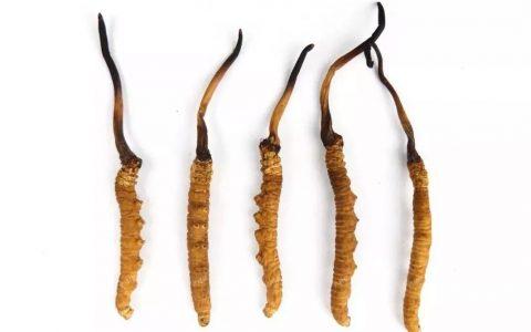 冬虫夏草功效与作用及食用方法